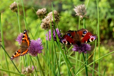 DtfBPF - August Butterflies, Small Tortoiseshell and Peacock do the posing!