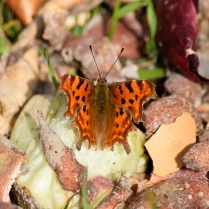 Comma in veggie scraps, 22 Mar 2015, my first sighting ever!