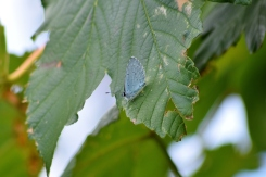 Tommy can you see me??? Holly Blue butterfly using leaf as cammo...