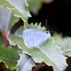 Holly Blue... on guess what?? Holly!