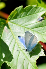 Another Holly Blue beauty!