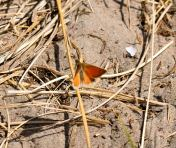 Small Heath with open wings...