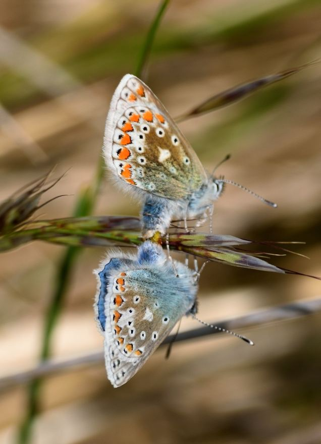 Mating Common Blues