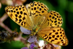 Female Silver-washed Fritillary... late August 2015, Togher Wood, Co Laois