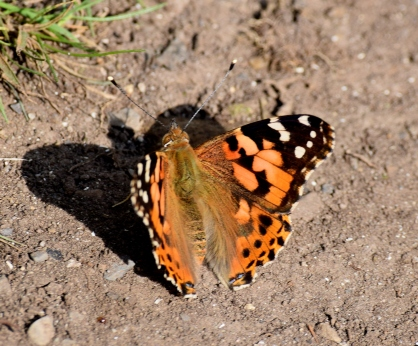 September special. Painted Lady along the Royal Canal
