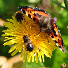 Bees and butterfly... sharing the nectar!