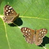 2 Speckled Woods share a fig leaf!