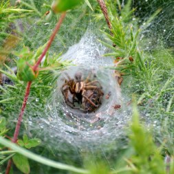 inside... funnel web spider...