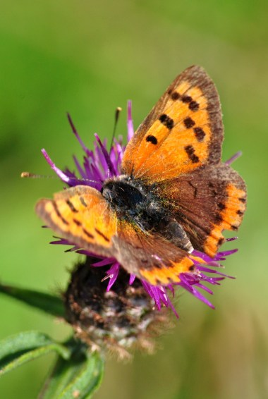 Small Copper... memories of the summer flitting by?