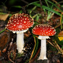 Fly Agaric (Amanita muscaria) http://www.irelandswildlife.com/fly-agaric-amanita-muscaria/