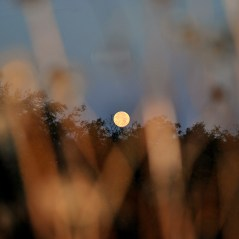 Setting full moon as seen through the dying brown flower stalks