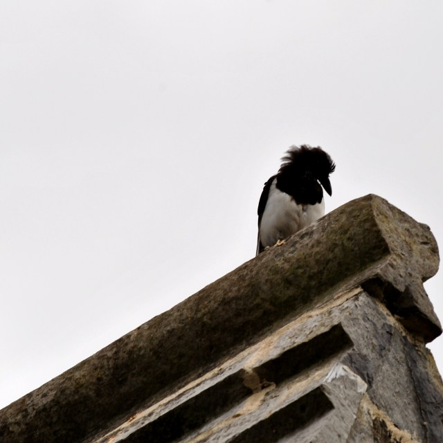 The magpie...shrewd and canny this fella... almost as cute as my alter-ego.