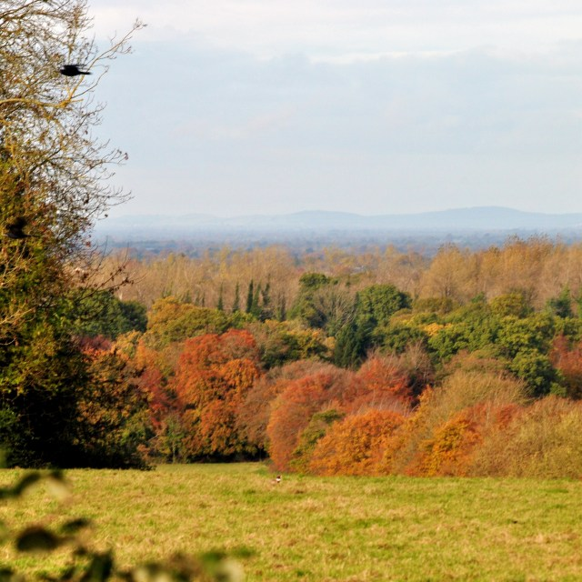 Pheasant in a field... autumn bliss in Co Meath, Ireland. Spot the other bird? ;-)