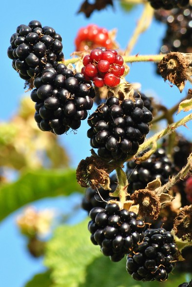 Blackberries against a blue summer sky...