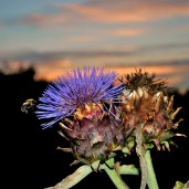 Bee and thistle... summer sunset glory!