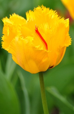 Beauty in the park... tulip in the St Stephen's Green gardens...