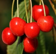 Our own cherries... the symbol of summer!!