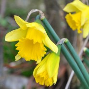 The first daffs of 2014!! Whoopy... spring can't be too far away!!