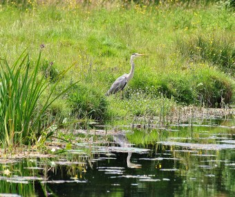 Heron along the Grand Canal, Ireland's summer bliss!