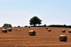 Harvest time... round bales litter the parched field... Co Kildare, Ireland