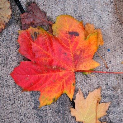 Summer has left and the tree is abandomning it's leaves, no matter how pretty they are...