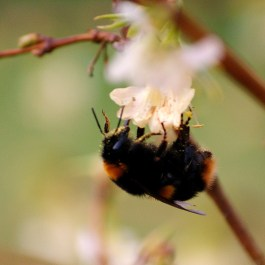DtFB PF - First bumblebee of Spring 2014
