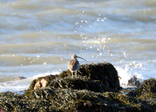 The curlew, Europe's largest wader, seen on the rock at Howth, early November 2014