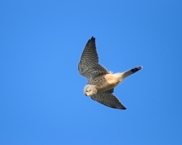 What's your story mister? Kestrel in the low hover, Sutton, Howth, Ireland