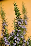 Lavender against a faded orange wall