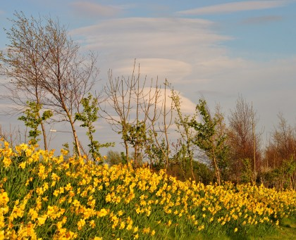 Daffs and clouds! Kilcock spring with lenticular clouds stacked high...