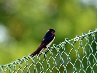 A summer visitor... the swallow rests on the tennis court fence...