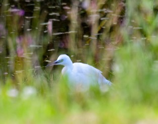 Little Egret, 21 July 2015 home pond, Kilcock, Co Kildare...