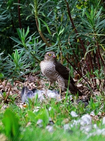 First sighting, sparrowhawk in the garden!!