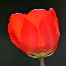 Spring close-up splendour!! Tulip style...