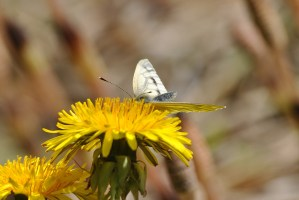 The instantly recognisable flower of the dandelion... sometimes adorned with butterflies!
