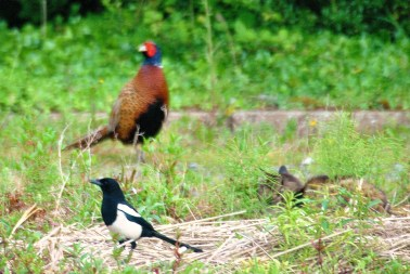 The cat, the magpie and the pheasant!