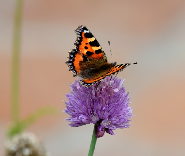First fruits! Small Tortoiseshell macro taken with the new Nikon 3300!