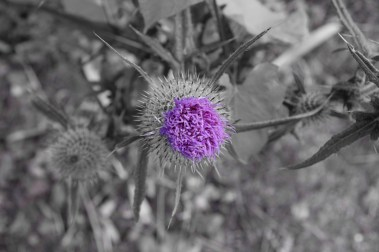 A bit of B&W fun with the thistle...