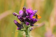 Small Skipper, only a recent arrival in Ireland and yes, I took the pic so now I can cross off another one!!!
