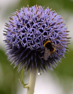 Bumblebee on the ball... note the droplet!