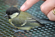 The Blue Tit and the GLW... TLC!!