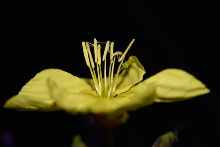 Evening Primrose... at the height of summer!!