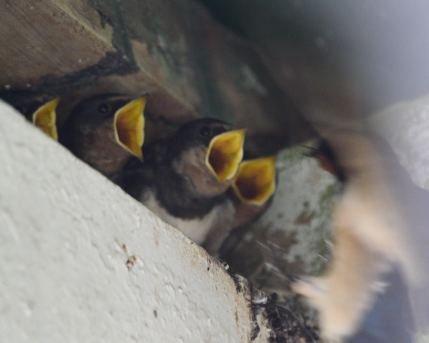 Four mouths to feed... hungry young swallows vie for food!