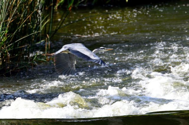 Just after take-off! low level sortie for Mr Heron!