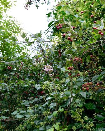 Hedgerow bounty... look closely, there's quite a bit to see... and eat!