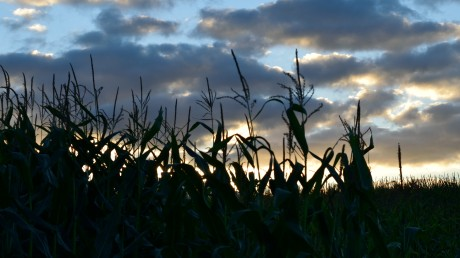 Sweetcorn sunset!