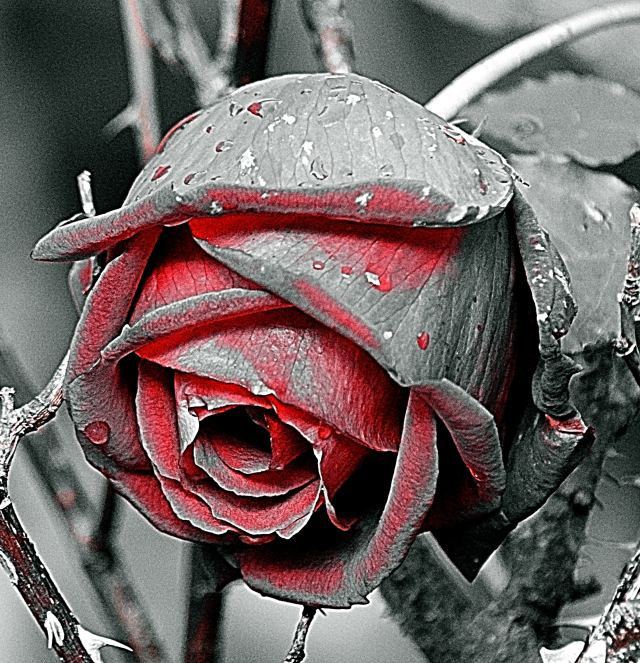The rose... manipulated by me...