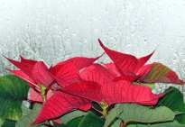 Christmas RED! Poinsettia against a frosty window...