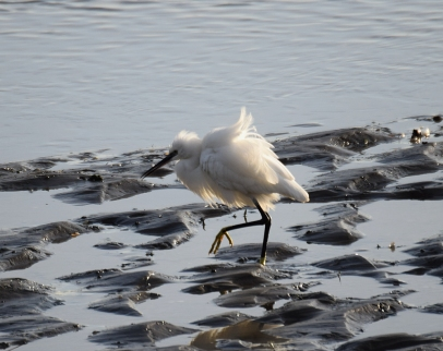 All puffed up! Small Egret strutting his stuff!
