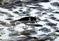 Oyster catcher poking around on the Bull Island mudflats...